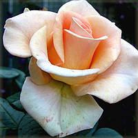 Мерлин Монро (среднее качество), фото 2
