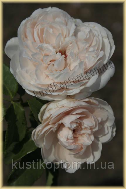 Роз де Толбиак (среднее качество)