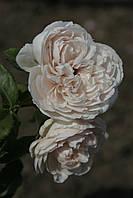 Роз де Толбиак (среднее качество), фото 2