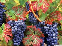 Масло виноградной косточки рафин. 100 грамм