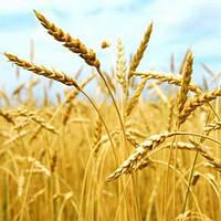 Масло зародышей пшеницы рафин. 50 грамм