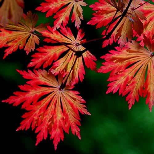 """Клен японский """"Aconitifolium"""", (Р9, h 30-40)"""