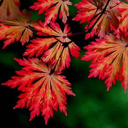 "Клен японский ""Aconitifolium"", (Р9, h 30-40), фото 2"