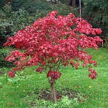 "Клен японский ""Aconitifolium"", (Р9, h 30-40), фото 3"