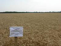 Семена пшеницы яровой Струна мироновская, первая репродукция