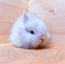 """Карликовый торчеухий кролик,порода """"Лисий кролик"""",окрас """"Бело-серебристый"""",возраст 1,5мес.,мальчик, фото 3"""