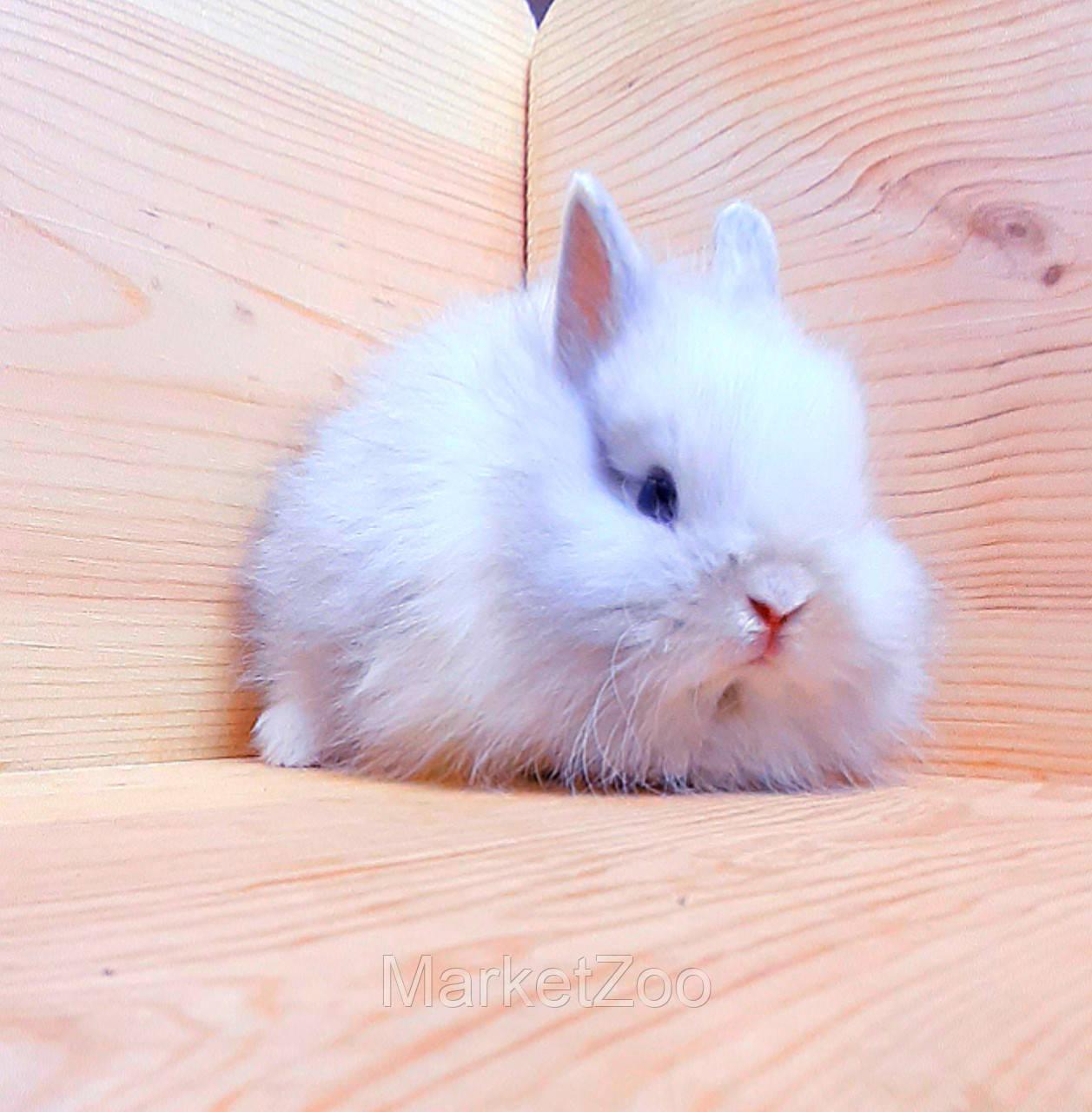 """Карликовый торчеухий кролик,порода """"Лисий кролик"""",окрас """"Бело-серебристый"""",возраст 1,5мес.,мальчик"""