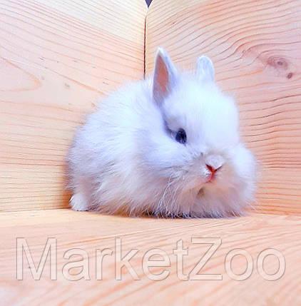"""Карликовый торчеухий кролик,порода """"Лисий кролик"""",окрас """"Бело-серебристый"""",возраст 1,5мес.,мальчик, фото 2"""
