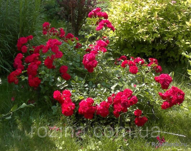 Саженцы розы Хеллоу