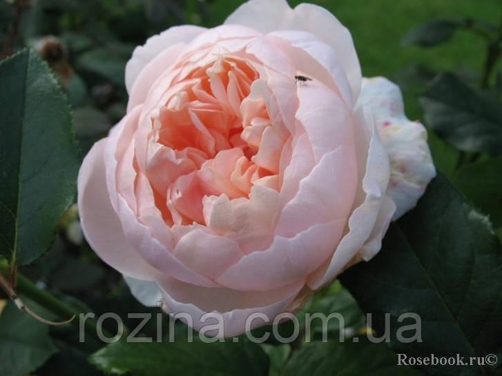 Роза Шефердес