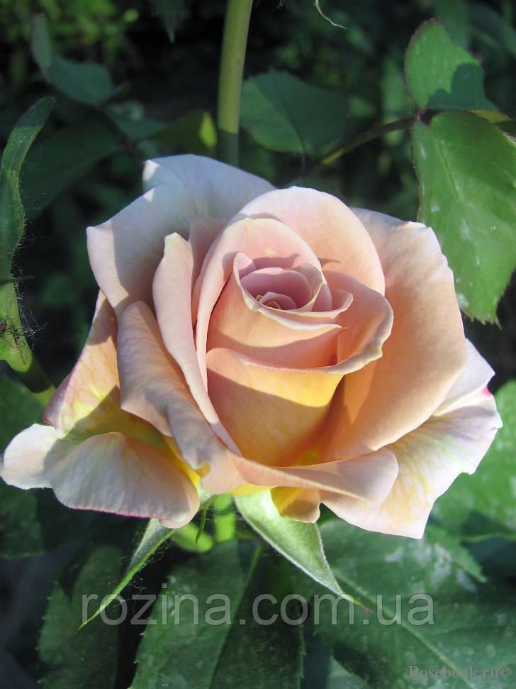 Саженцы розы  Хоней Дижон