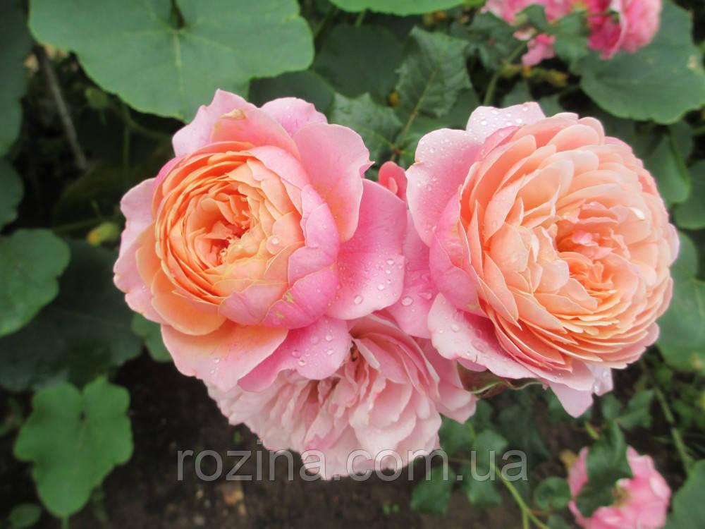 """Саджанці троянди """"Прикс П.Ж.Редуте"""""""