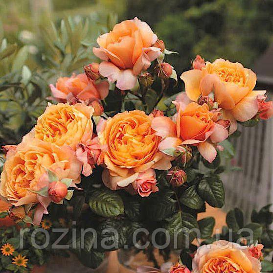 """Саджанці троянди """"Капри"""""""
