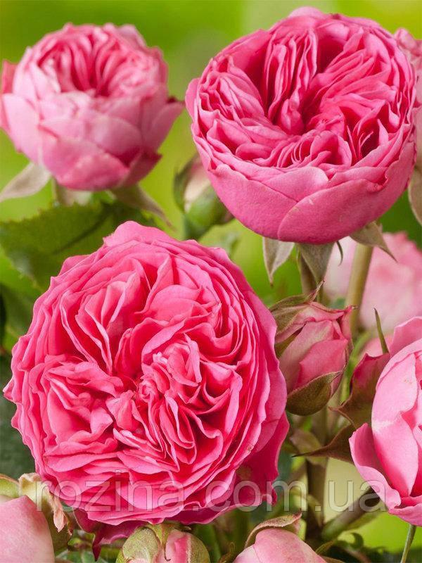 """Саджанці троянди """"Канди Рококо"""""""