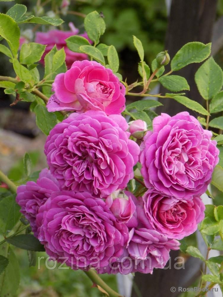 """Саджанці троянди """"Мелина"""""""