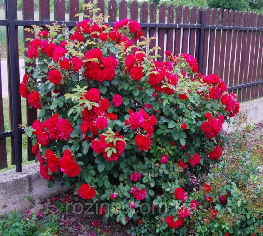 """Саджанці троянди """"Гефальд"""""""