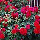 """Саджанці троянди """"Гефальд"""", фото 2"""