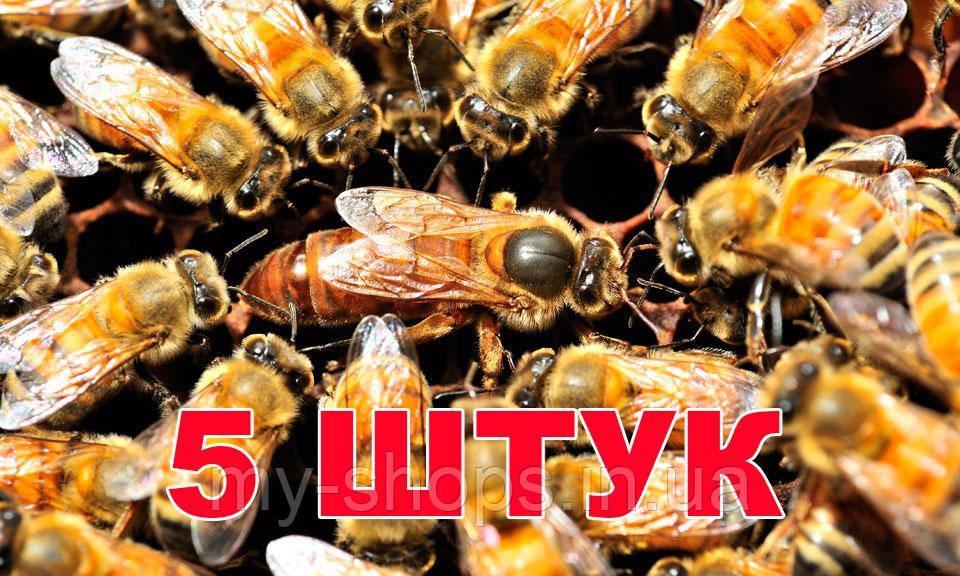 Матка Бакфаст (не плодная) – 5 пчеломаток