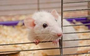 Подвесные домики для крыс