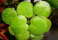 Лимнобиум ( 1 розетка)