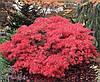 """Клен японский """"Crimson Queen"""", (С9, h 60-80), фото 2"""