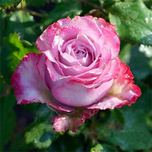 Роза  Deep Water