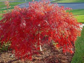 """Клен японський  """"Crimson Princess"""", (С45, h 80-100, d 100), фото 2"""