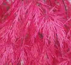 """Клен японський  """"Crimson Princess"""", (С45, h 80-100, d 100), фото 3"""