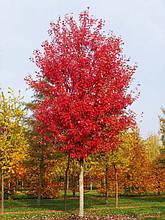"Клен фримана ""Autumn Blaze"", (С7,5, h 160 - 180)"