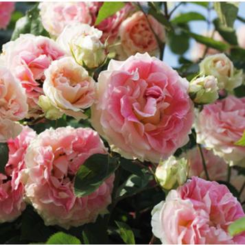 Роза Cesar
