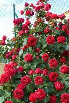 Роза Red Eden Rose