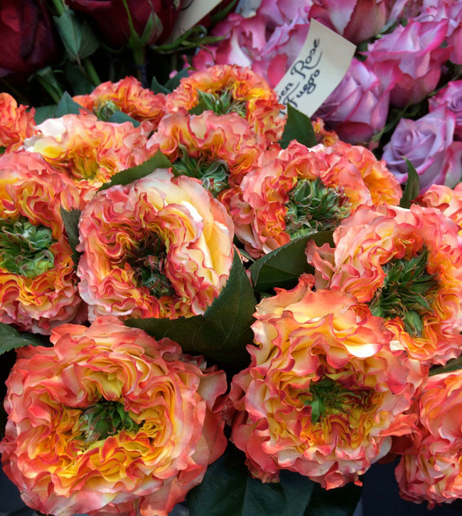 Роза Caraluna