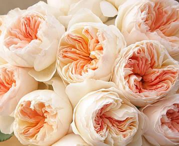 Роза Juliet