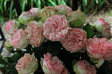 Роза Charming Piano