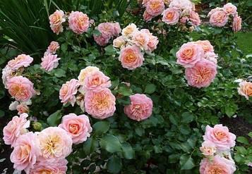 Роза Concerto 94