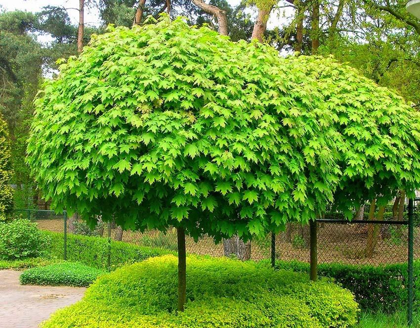 """Клен """"Globosum"""", штамб 100 см (С5, h 140-150)"""