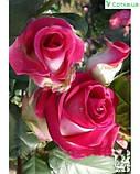 Утро Парижа саженец розы чайно-гибридная, фото 2
