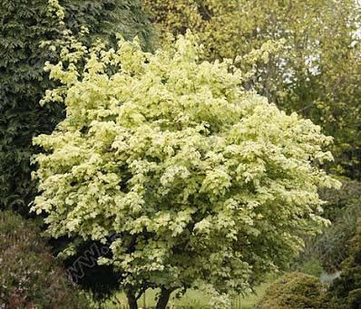 "Клен ""Pulverulentum"", Штамб 1,3 м (С7,5, h 1,6м), фото 2"