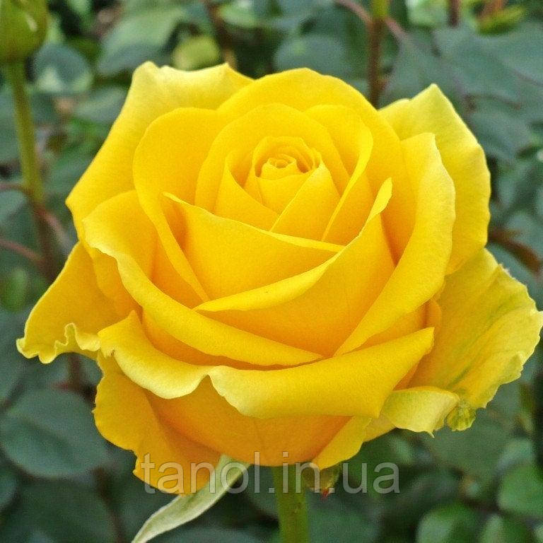 Роза чайно-гибридная Kern ( Голландия )