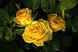 Роза чайно-гибридная Kern ( Голландия ), фото 2