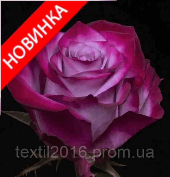 Роза ( новинка )чайно-гибридная Deep Purple