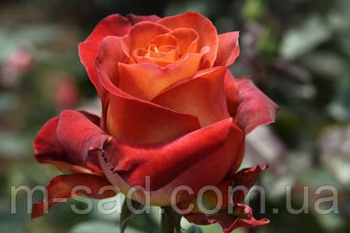 Роза КОФЕ БРЕЙК (срезочный сорт)