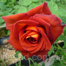 Роза КОФЕ БРЕЙК (срезочный сорт), фото 3