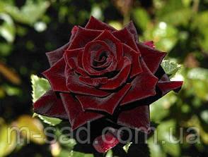Роза Черный Принц (аромат легкий,цветение обильное), фото 3