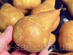 Груша Бере Боск (осінній,урожайний,дуже соковитий)