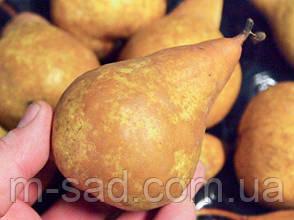 Груша Бере Боск (осенний,урожайный,очень сочный), фото 2