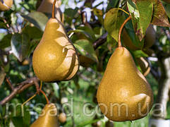 Груша Бере Боск (осінній,урожайний,дуже соковитий) 2хлетка