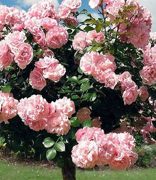Роза Astrid Lindgren