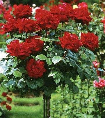 Роза Burgund