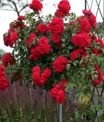 Роза Lavaglut